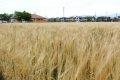 미야키 초 밀 밭