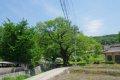 연천 간파리 느티나무