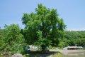 연천 늘목리 은행나무