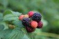 복분자딸기