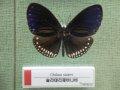 예천 곤충박물관-나비