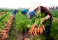 박닌의 당근 수확