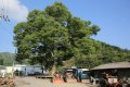 하초마을 보호수