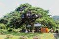 불무마을 소나무