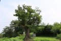 여주 송촌리 느티나무