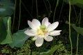 세미원  -  연꽃