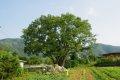 여주 백자리 느티나무