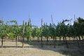 그레베 인 키안티의 포도밭