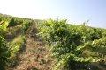레치 인 키안티의 포도밭