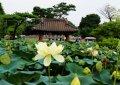 세미원의 연꽃들(1)