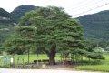 의성 월소리 소나무