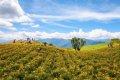 타이둥의 유채꽃 언덕