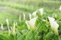 양명산의 죽자호 카라꽃 축제
