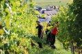 리크위르 포도농장의 포도수확작업