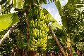 푸에르토 데라 크루즈 바나나 나무