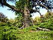 레바논의 삼나무