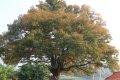 안동마을 느티나무
