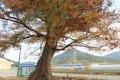관하마을 느티나무