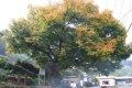 관중마을 느티나무