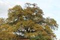 대봉마을 팽나무
