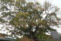 동봉마을 팽나무