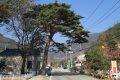 정선 유천리 소나무