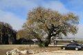 월막리 왕버들나무