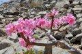 소코트라 섬의 분홍 꽃 핀 바오밥나무
