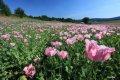 아프가니스탄의 양귀비 밭