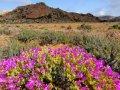 나마콰 국립공원의 꽃밭