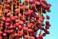마르사 알람의 대추야자 나무
