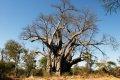 1700년생 나무