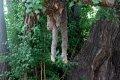 서울 문묘 은행나무 유주(乳柱)