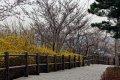 남산공원, 북측순환로의 봄(서향) 02