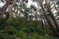 화진포 소나무숲