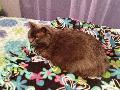 니벨룽 고양이