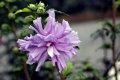 무궁화 꽃 퍼플 루즈