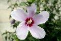 무궁화 꽃 한얼