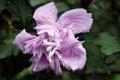 무궁화 꽃 루즈