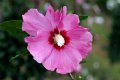 무궁화 꽃 루비스