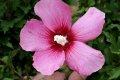 무궁화 꽃 싱글 레드