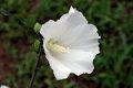 무궁화 꽃 토투스 알부스