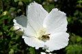 무궁화 꽃 화이트 바리게이트