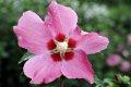 무궁화 꽃 우드 브릿지
