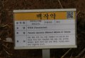 서울대학교 약초원의 식물들 - 백작약, 목향, 범부채, 까마귀밥여름나무