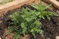 서울대학교 약초원의 식물들 - 엉겅퀴, 각시취, 바디나물, 참취,
