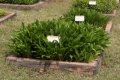 서울대학교 약초원의 식물들 - 주걱비비추, 일월비비추, 참나리, 둥굴레