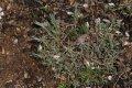 서울대학교 약초원의 식물들 - 패랭이꽃, 익모초, 범의꼬리, 골무꽃