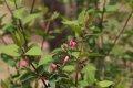 서울대학교 약초원의 식물들 - 홍괴불나무, 도라지, 산앵도나무, 삼지구엽초