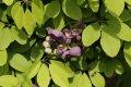 서울대학교 약초원의 식물들 - 으름덩굴, 오미자, 붓꽃, 도깨비부채